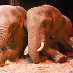Was steht tatsächlich im Entschließungsantrag für ein Wildtierverbot in Zirkussen?