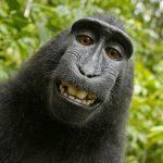 PeTA macht Affenzirkus und klagt Urheberrecht für einen Affen