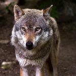 Dem Wolf geht´s an den Kragen